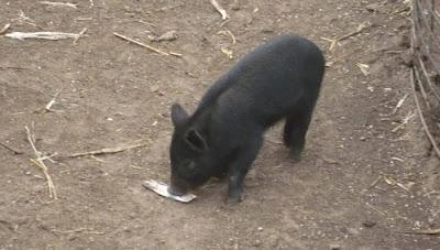 Black Mulefoot Piglet Rooting