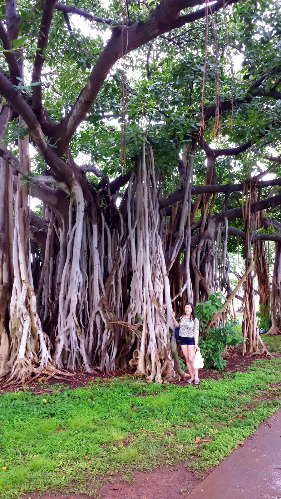 Banyan tree at Ala Moana park. Photo: Just J