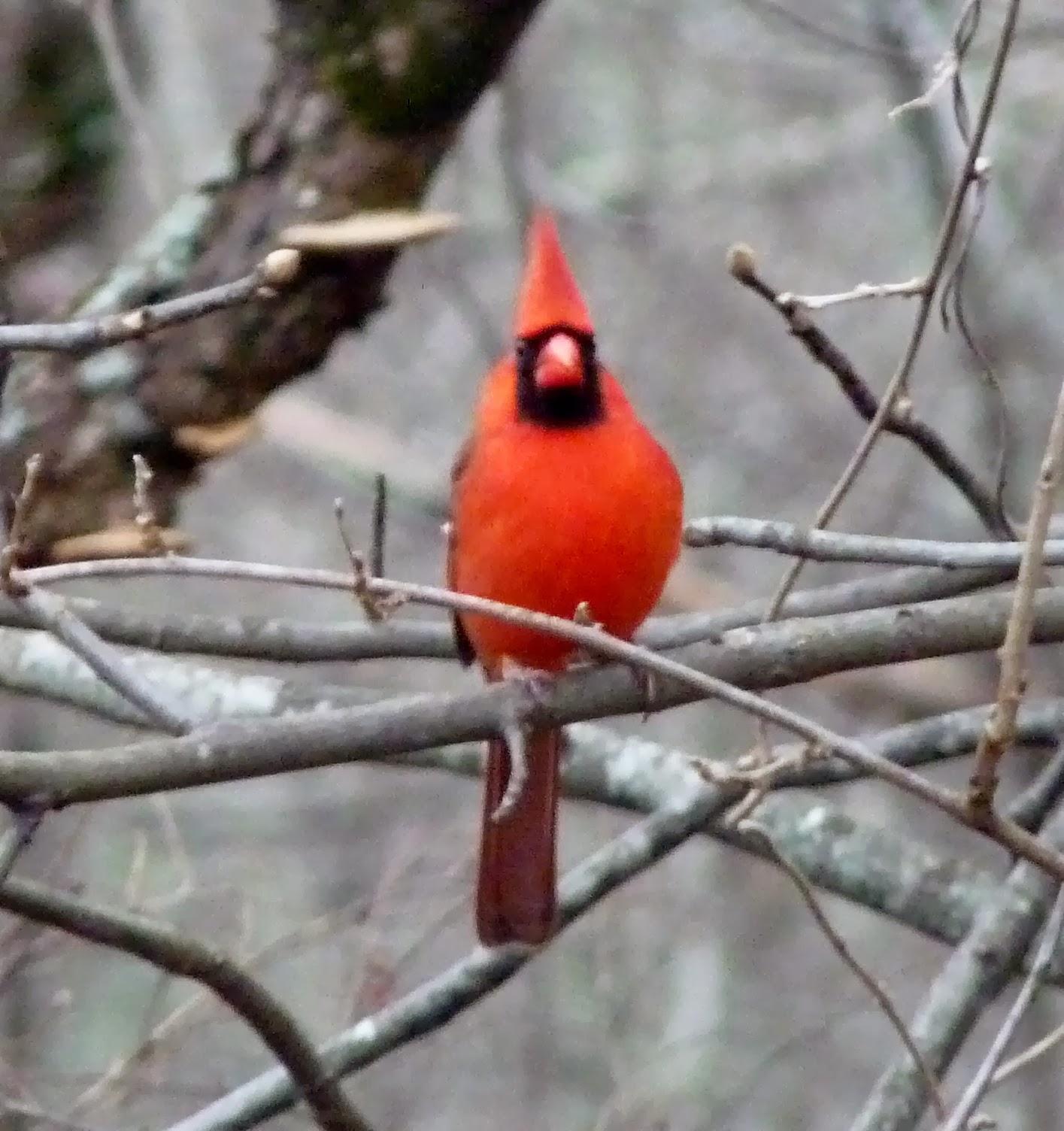the greenbelt red bird