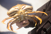 Shannon Hager Photography, Newport Oregon, Crabs