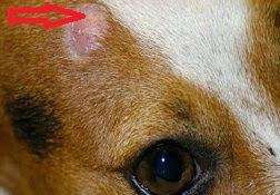 Nấm trên da đầu chó.