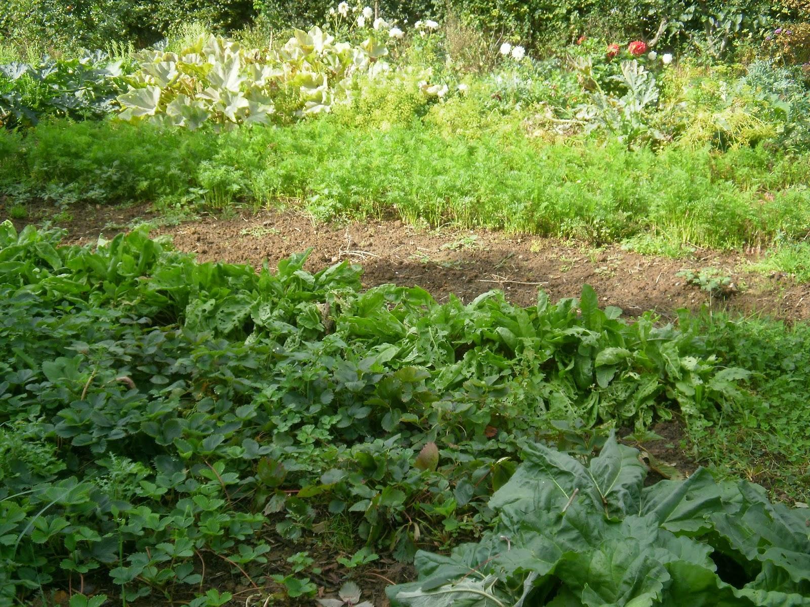 le potager des violettes les fraisiers en octobre au jardin des violettes. Black Bedroom Furniture Sets. Home Design Ideas