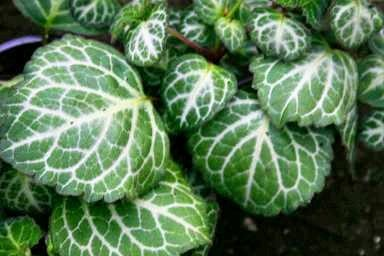 Arbustosensevilla encinarosa plectranthus planta del dinero - Planta china del dinero ...