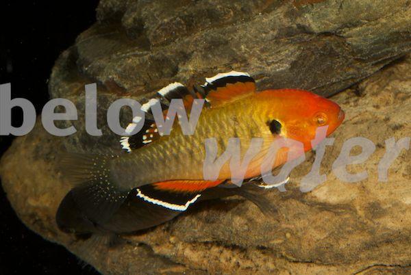 Rare fish blog betta pallifina betta cf for Rare betta fish