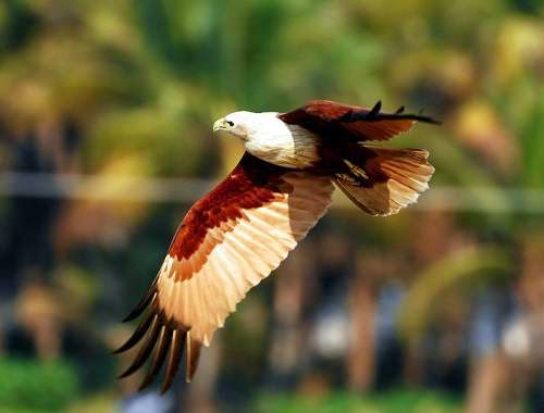 Indian birds - Image of Brahminy kite - Haliastur indus