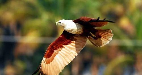 Indian kite bird - photo#21