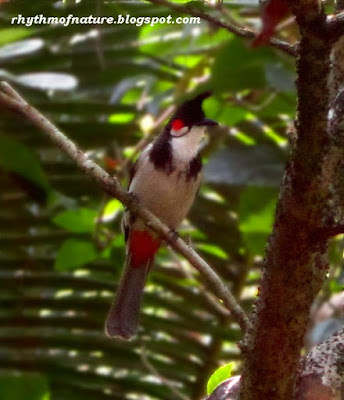 Red Whiskered Bulbul ( Scientific name : Pycnonotus jocosus )