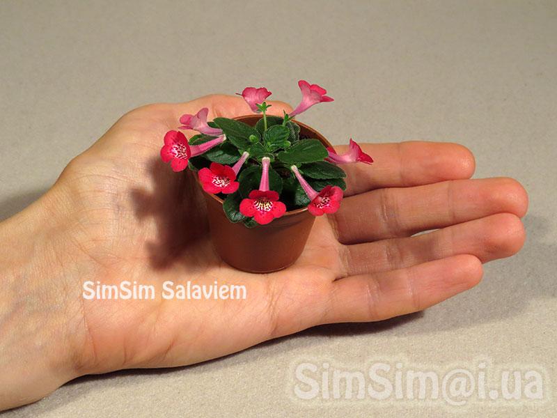 """micro mini Sinningia """"SimSim Salaviem"""""""
