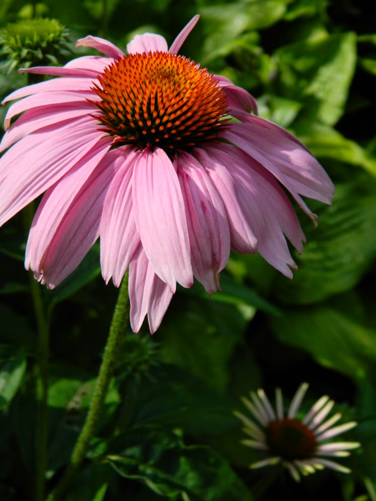 Purple Coneflower Echinacea purpurea  Riverdale Farm by garden muses-not another Toronto gardening blog