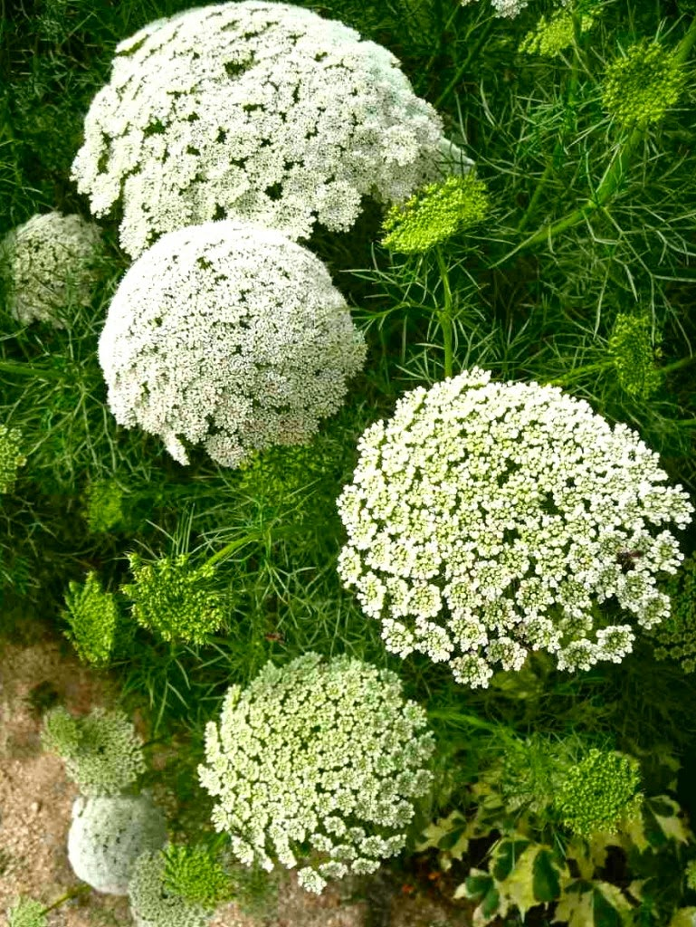Queen Anne's Lace Ammi