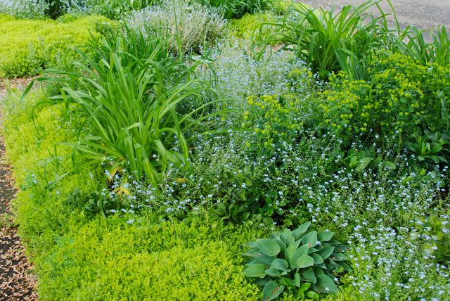 The blue and chartreuse haze that is the Front Woodland right now. Wood spurge on the right, blue forget-me-nots in the middle and Sedum 'Acre' just getting ready to bloom around the edges.