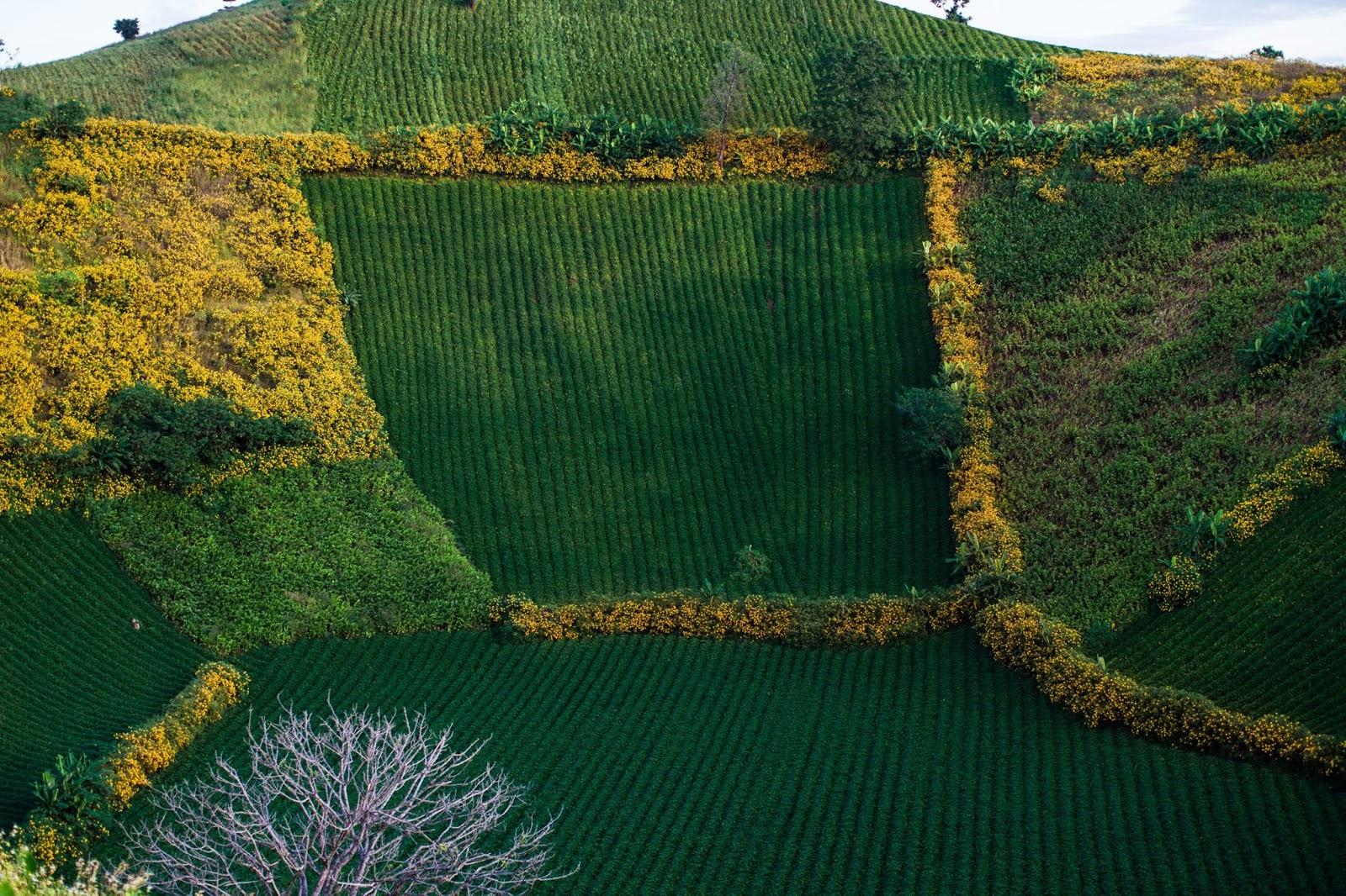 Gia Lai: Chư Đăng Ya rực rỡ mùa hoa dã quỳ nở
