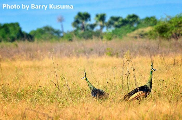 Hasil gambar untuk padang savana banyuwangi