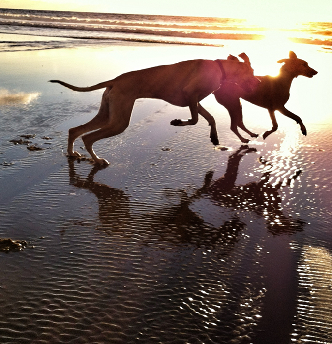 Dogs frolic on the beach. Notes from the Pack - The Story of Dog. Quote by Henry Ward Beecher, photo by Ren Nickson