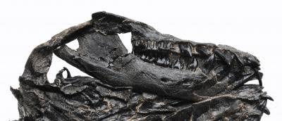Liaoconodon hui skull