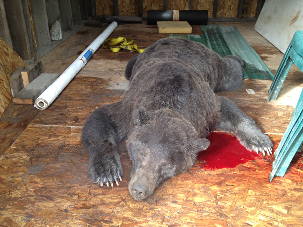 image of dead bear in blood