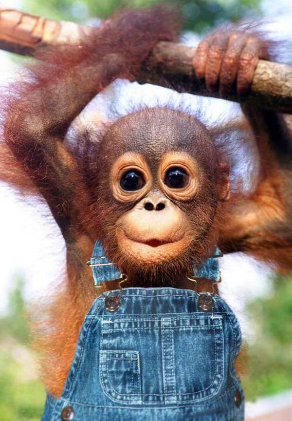 Anak monyet belajar menguatkan otot lengan