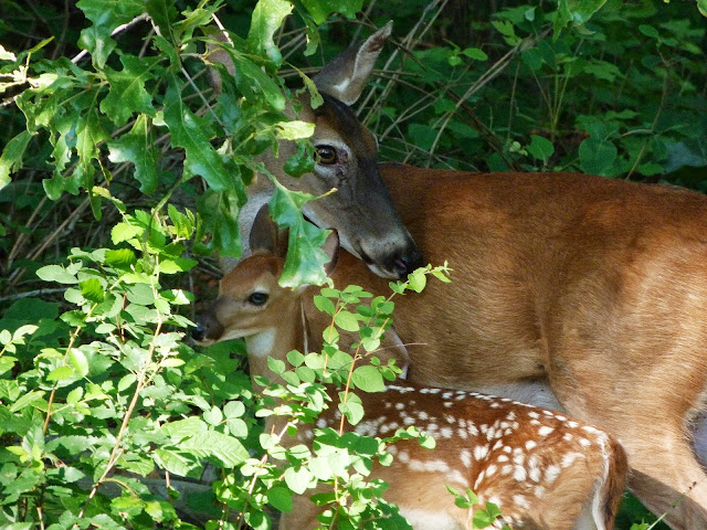 Doe with her fawn