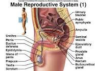 The Male Reproductive Organs