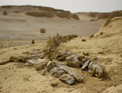 Pesquisadores descobrem fósseis de baleias de 40 milhões de anos no Egito