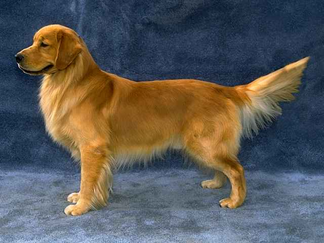 golden retriever irish setter mix puppies