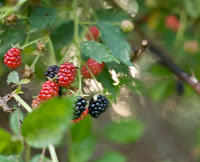wild grown blackberries