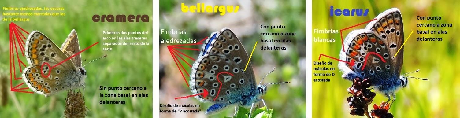 Diferencias básicas entre Aricia cramera, Polyommatus icarus y Lysandra bellargus