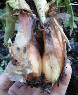 twin onions from original bulb