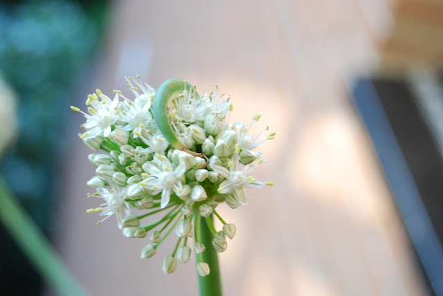 la elegancia de la flor de la cebolla
