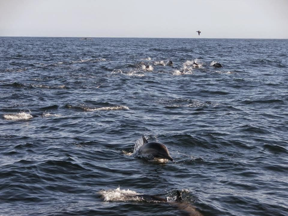 Wild Dolphins Swimming in Newport Beach, California