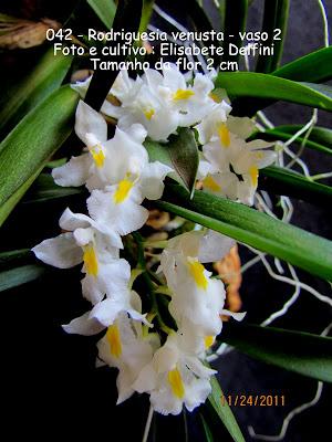 Rodriguesia venusta - vaso2 do blogdabeteorquideas