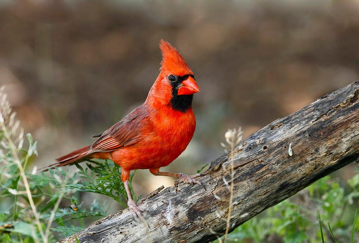El Cardenal una de las aves favoritas