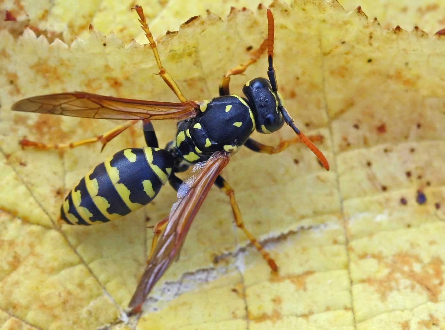 Such As Bees Wasps Prefer Sweet And Primarily Eat Plant Nectar Fruit Honey Also Insects Even Large Caterpillars