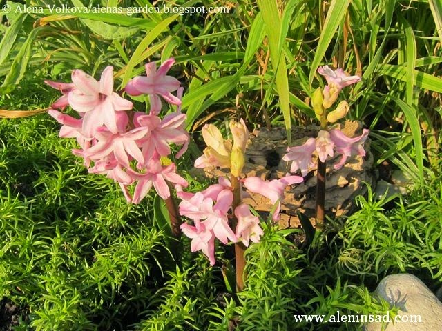 цветы, осенью, весенние цветы, гиацинты осенью, цветы гиацинтов, розовые гиацинты, флокс шиловидный, Hyacinthus orientalis
