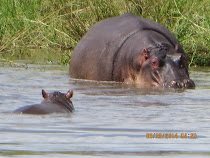 Mama and baby hippo, pond near Olifants Camp, Kruger Nat'l Park, South Africa