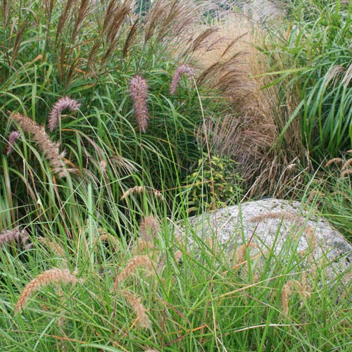 Grow ornamental grasses for Ornamental grasses that bloom