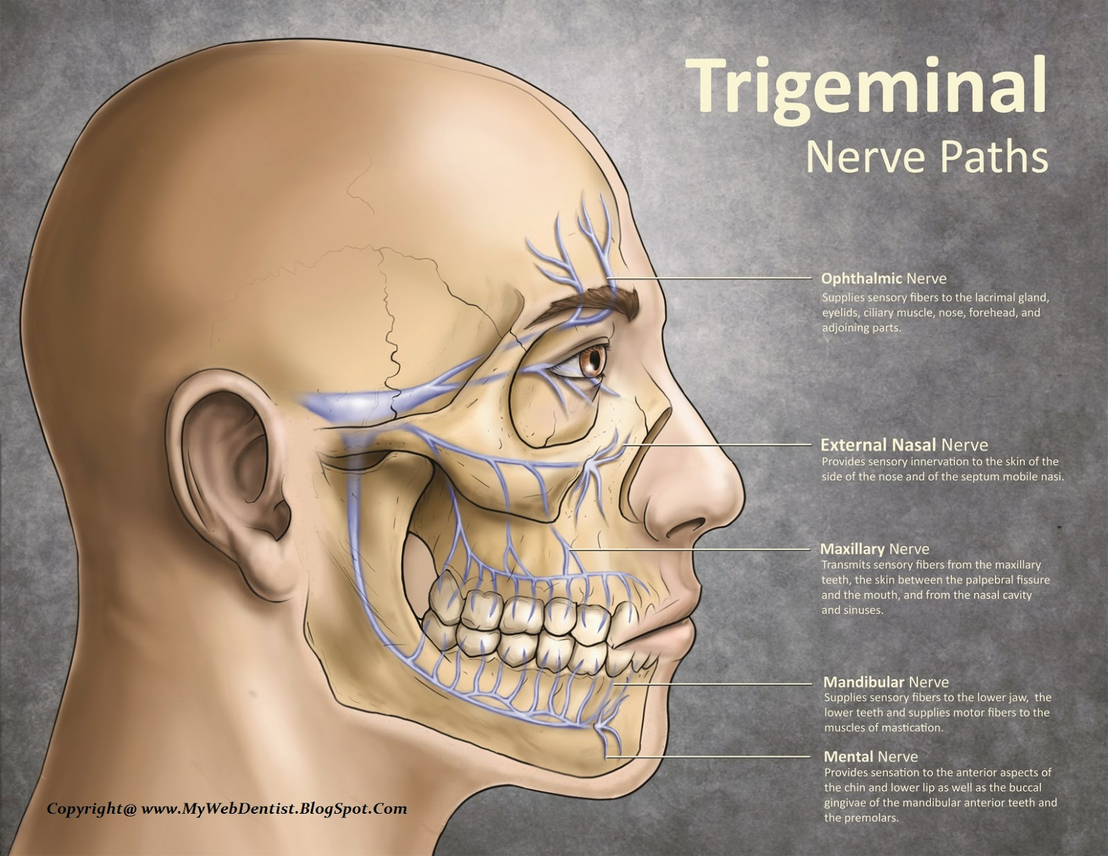 My Web Dentist Bringing Smiles On Faces Trigeminal Nerve Gross