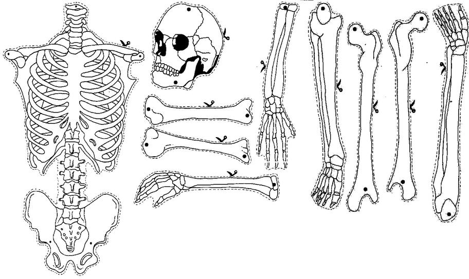Esqueleto Humano Para Imprimir. Interesting Crucigrama Del Cuerpo ...