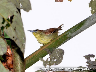 Pin-striped Tit-babbler (Macronous gularis)