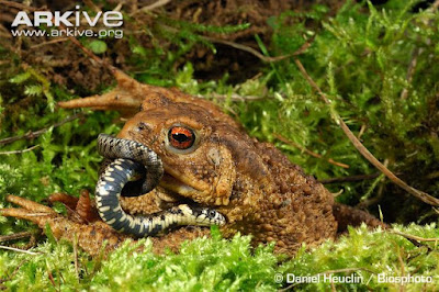 Grass Snake and Common Toad