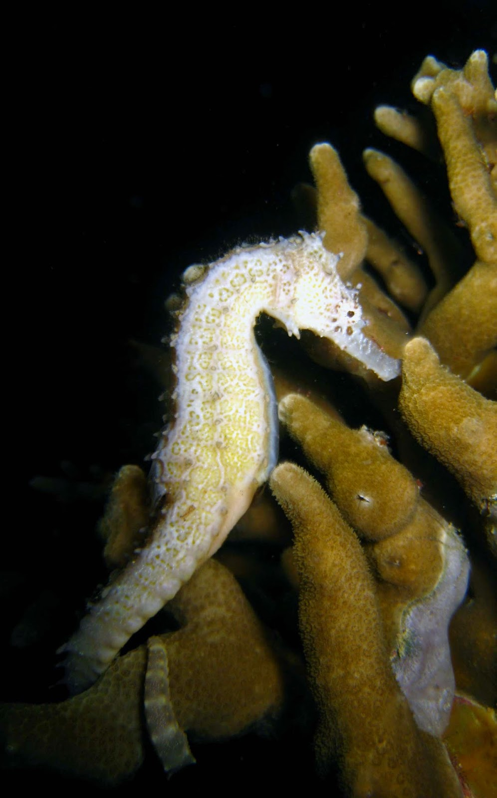 Common seahorse at Malapascua Exotic Island Dive Resort
