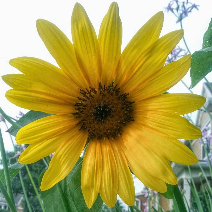 ALM Photo, Lisa Mueller, Jacksonville, sunflower