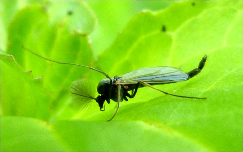 insects of scotland mosquitoes midges horseflies. Black Bedroom Furniture Sets. Home Design Ideas