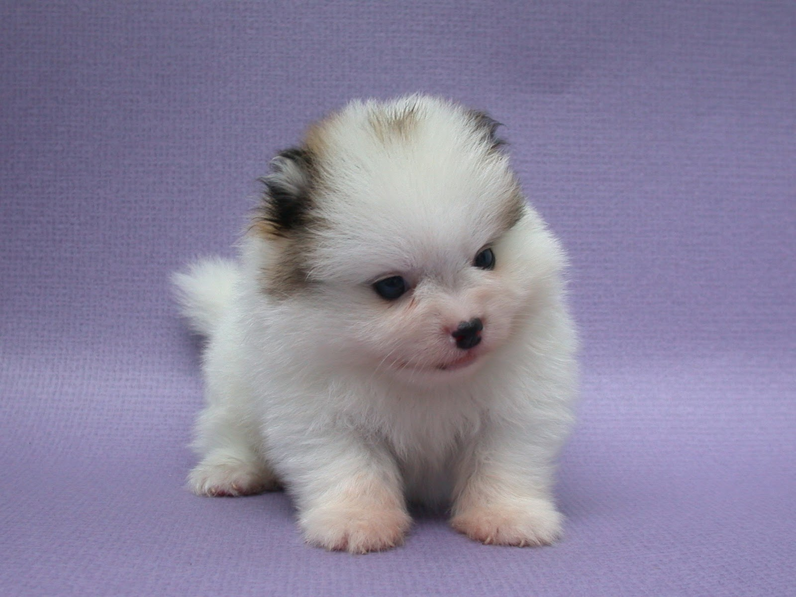 Cute Puppy Dogs: Pomeranian Puppies