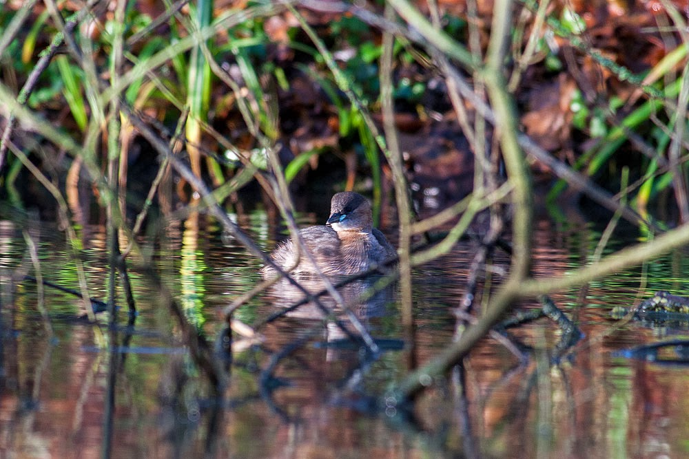 hiding in the bushes - little grebe