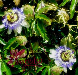 flor pasión
