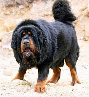 Tasaweer Tibetan Mastiff