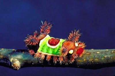 The Saddleback Caterpillar