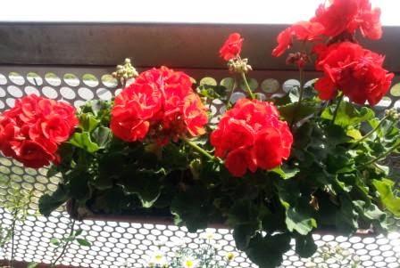 Geranie - ungiftige Pflanzen
