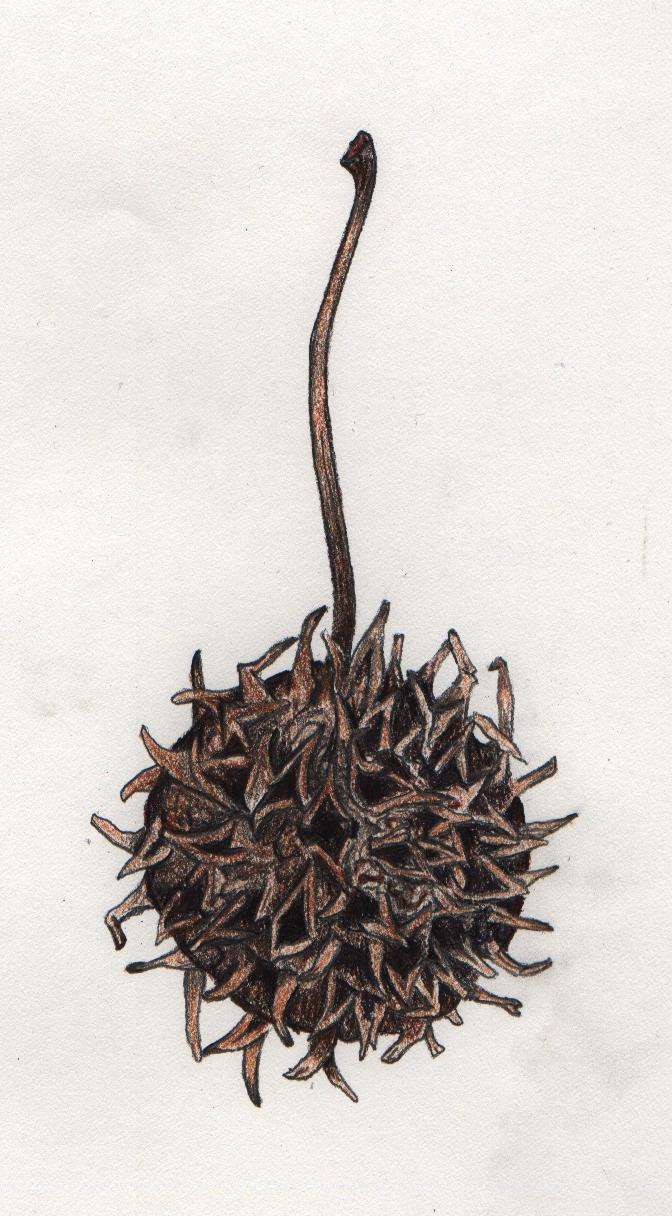 Displaying 20> Images For - Sweet Gum Tree Leaves Drawing...